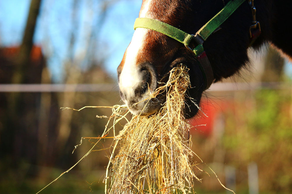 forraje caballo