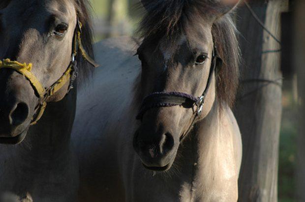como curar la lengua cortada de un caballo